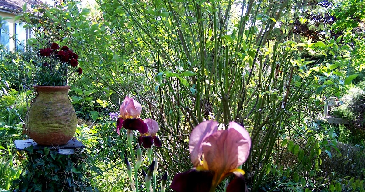 bienvenue dans mon jardin a fill sur sarthe iris ni vu ni connu je suis le parfum vivant. Black Bedroom Furniture Sets. Home Design Ideas