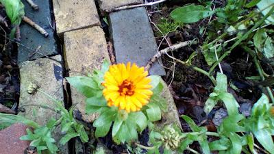 Calendula Plants flowering in winter weird weather Green Fingered Blog