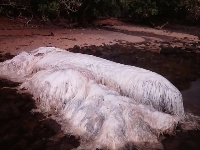 MUST SEE: This Extraordinary And Frightening Hairy Creature Was Found Dead Along The Coast Of Dinagat Island!MUST SEE: This Extraordinary And Frightening Hairy Creature Was Found Dead Along The Coast Of Dinagat Island!