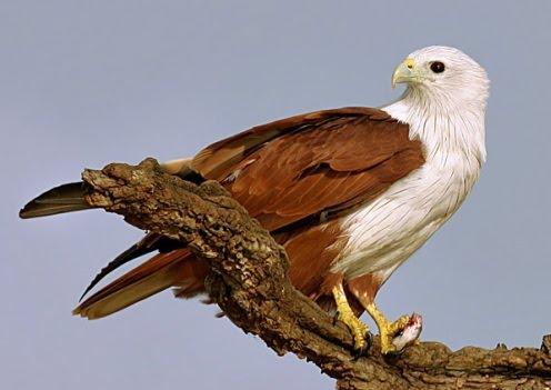 92 Gambar Burung Elang Dari Samping Terbaik