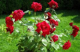 7 Khasiat Bunga Mawar untuk Kesehatan Tubuh