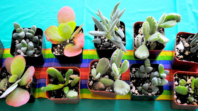 Succulents are lined up and ready for to party at Fizzy Party's workshop