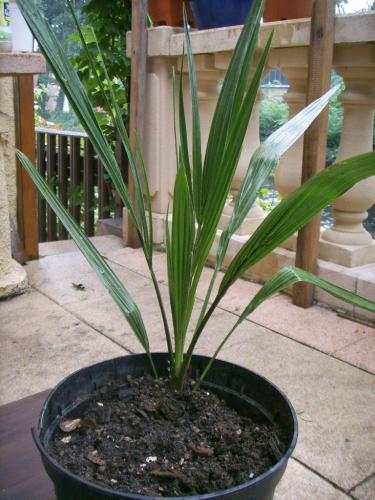 planter un dattier