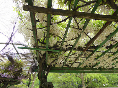 下福島公園の藤