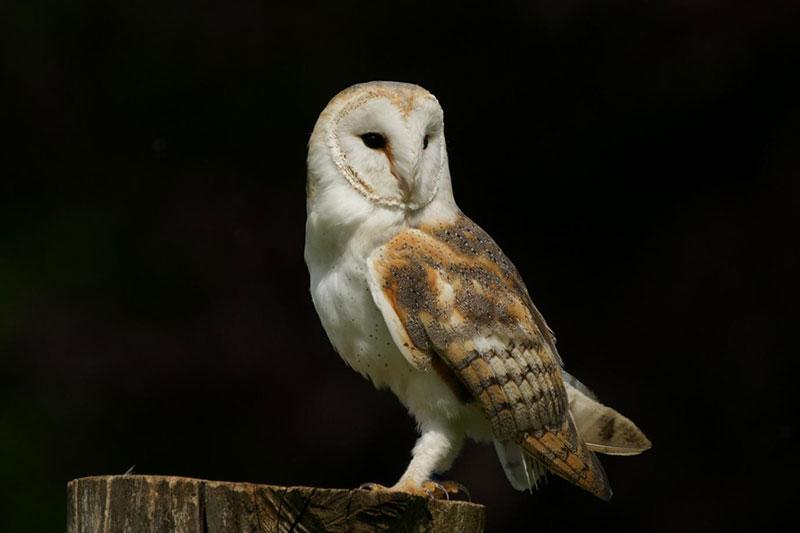 How a barn owl flies silently