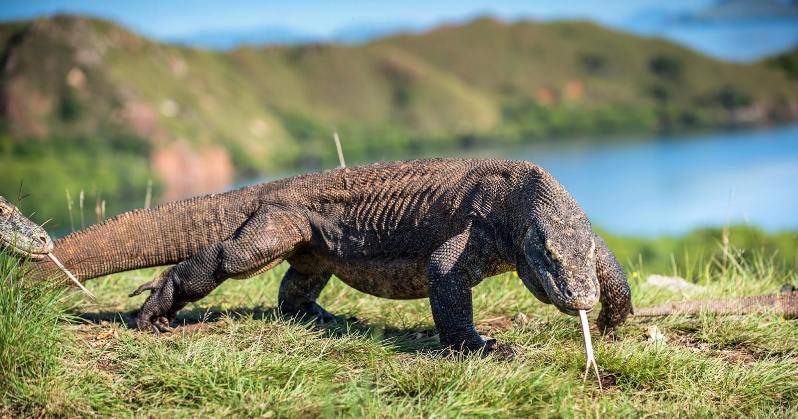 Dragão-de-Komodo (Varanus komodoensis)