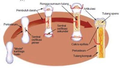 Proses Osifikasi Pembentukan Tulang Pada Kerangka Manusia