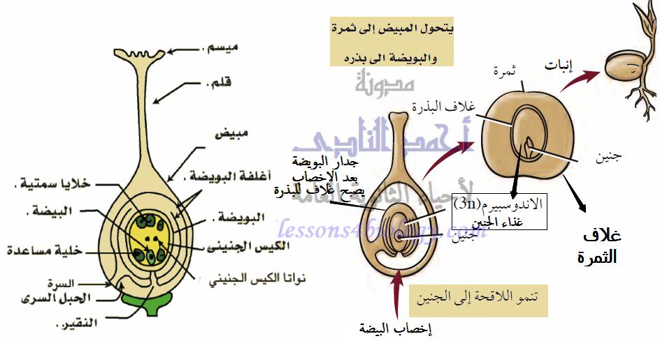 الإخصاب المزدوج لتكوين الجنين والإندوسبرم فى النباتات الزهرية