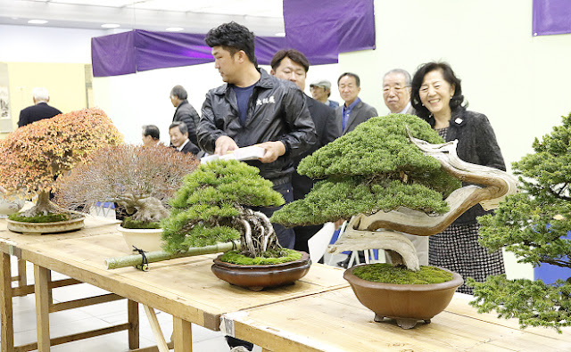 Autumn Bonsai on display manifesting their true beauty at Taikan Ten International Bonsai exhibition in Kyoto Japan
