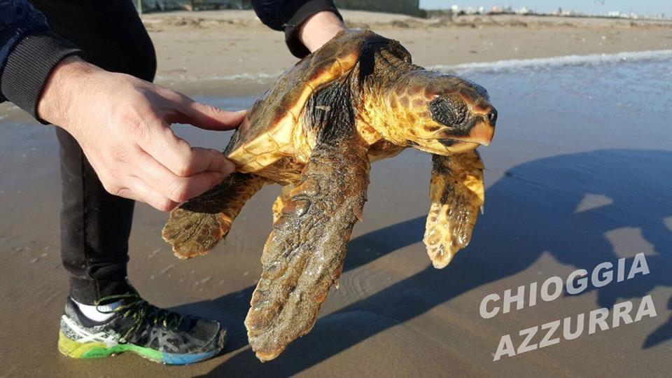 Chioggia azzurra ritrovata tartaruga sulla battigia di - Pagine di colorazione tartaruga ...