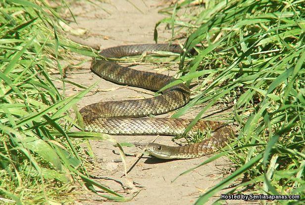 Tiger Snake (Ular Harimau Australia)