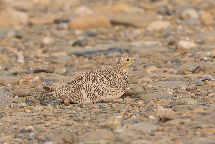 Chestnut-bellied Sandgrouse – Jubail