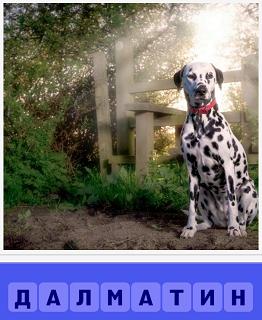 сидит собака породы далматин на улице с красным ошейником