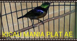 Burung Kolibri Ninja