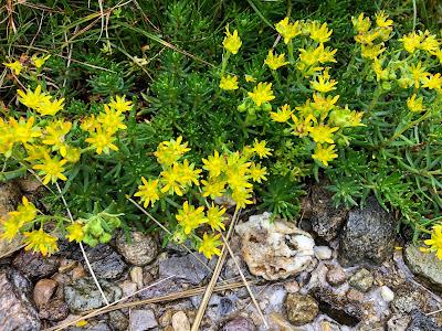 [Saxifragaceae] Saxifraga aizoides – Yellow Saxifrage (Sassifraga gialla)