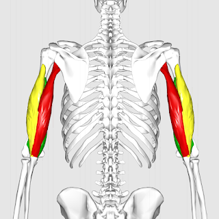triceps brachii muscle, action, muscle picture