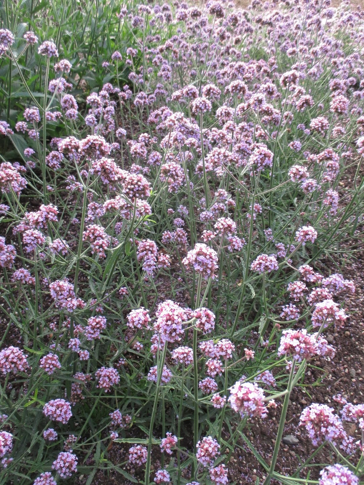 Look For The Meteor Shower Verbena