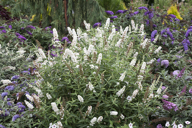 Buddleia 'Miss Pearl' from Proven Winners shrubs