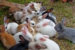 Mengenal jenis jenis kelinci