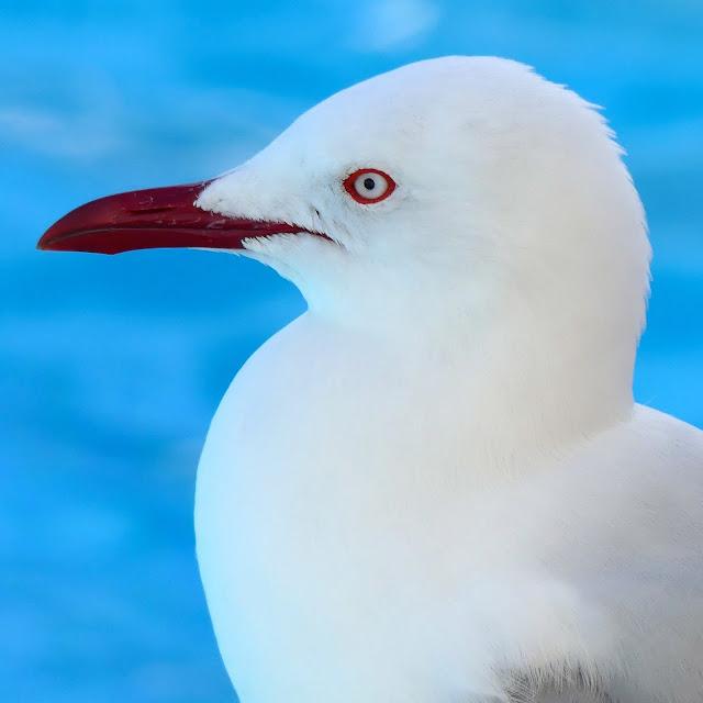 BIRD PORTRAITS #1 STEVE SEAGULL
