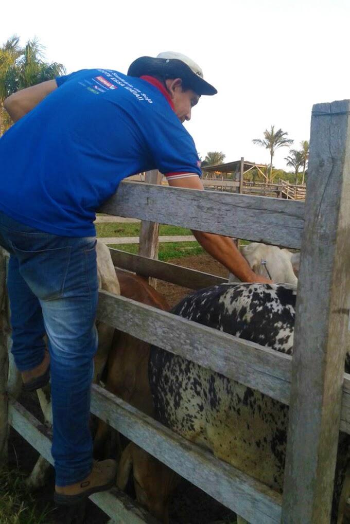 Faro e Terra Santa abrem calendário de vacinação da aftosa no Pará
