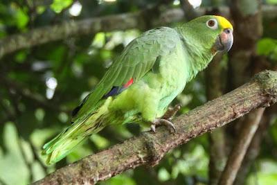 Amazona real: Amazona ochrocephala