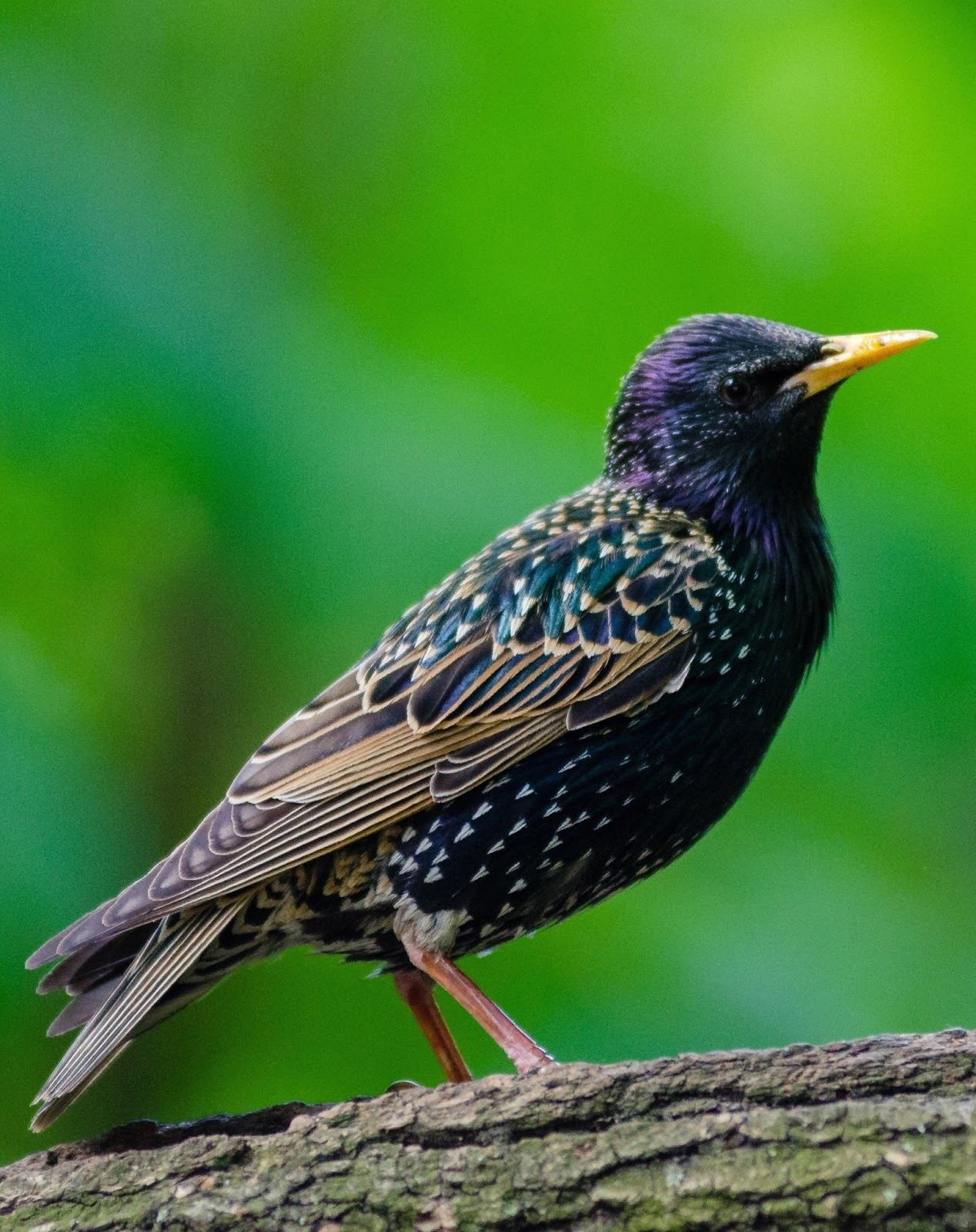 Picture of a European starling bird.