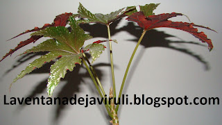 como-cuidar-begonia-gryphon