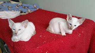 Fantastic Siamese kittens