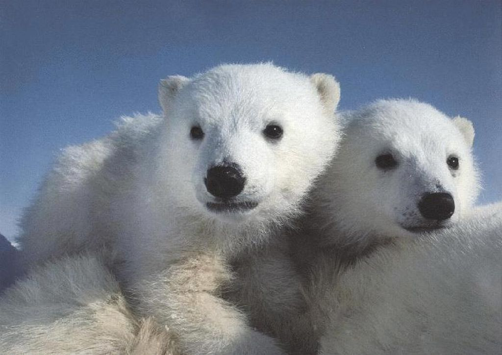 Morton's Musings: Polar Bear Cubs Riding On Mother's Back