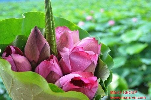 www.mars-vn.com - Không nên tặng hoa sen cho người Nhật
