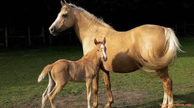 Kuda hewan vivipar - berbagaireviews.com