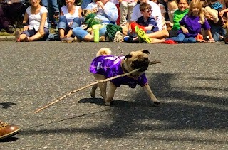 Pug carrying stick in the Parade of Pugs