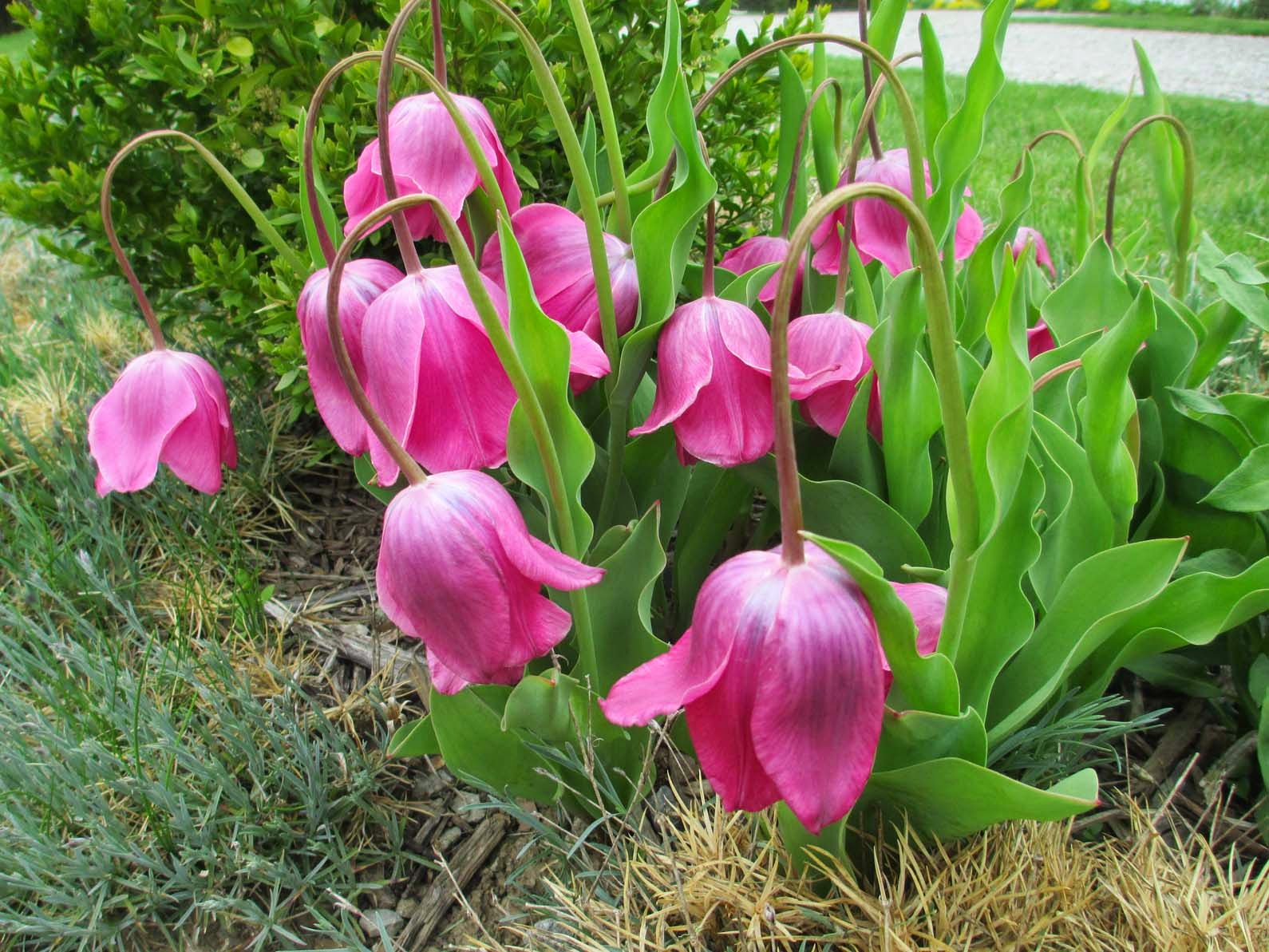 Garden Fancy The Mystery Of The Droopy Headed Tulips