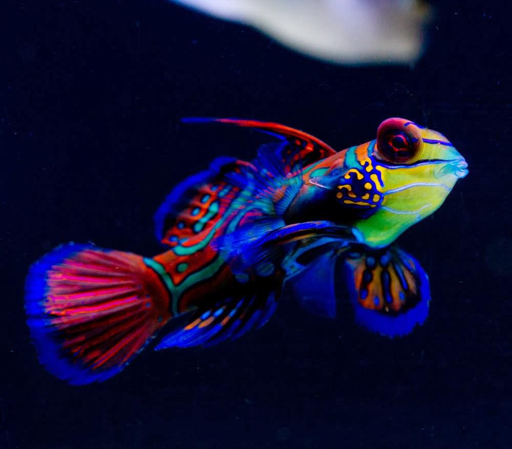 fish share MANDARIN FISH IKAN HIAS
