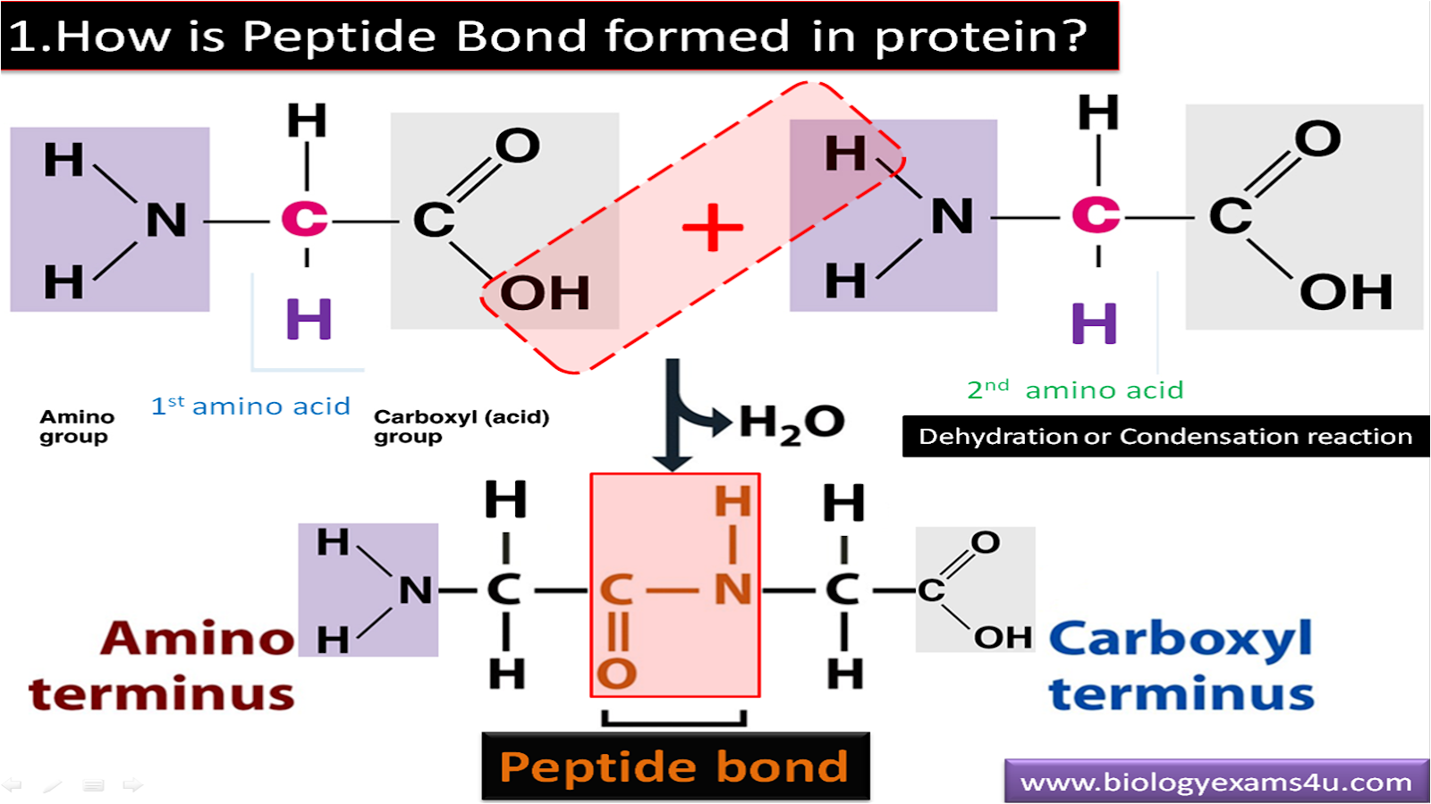 How is peptide bond formed in protein