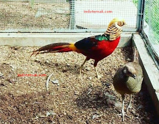 Bisnis Ayam Hias Yang Menyenangkan