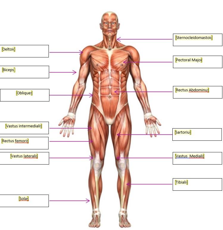 Beste Muscle Man Anatomy And Physiology Bilder - Anatomie und ...