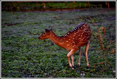 Deer in Nijhum Dwip,  Nijhum Island Hatia, Trip Navigation Bangladesh, Nijhum Dwip Travel Guide