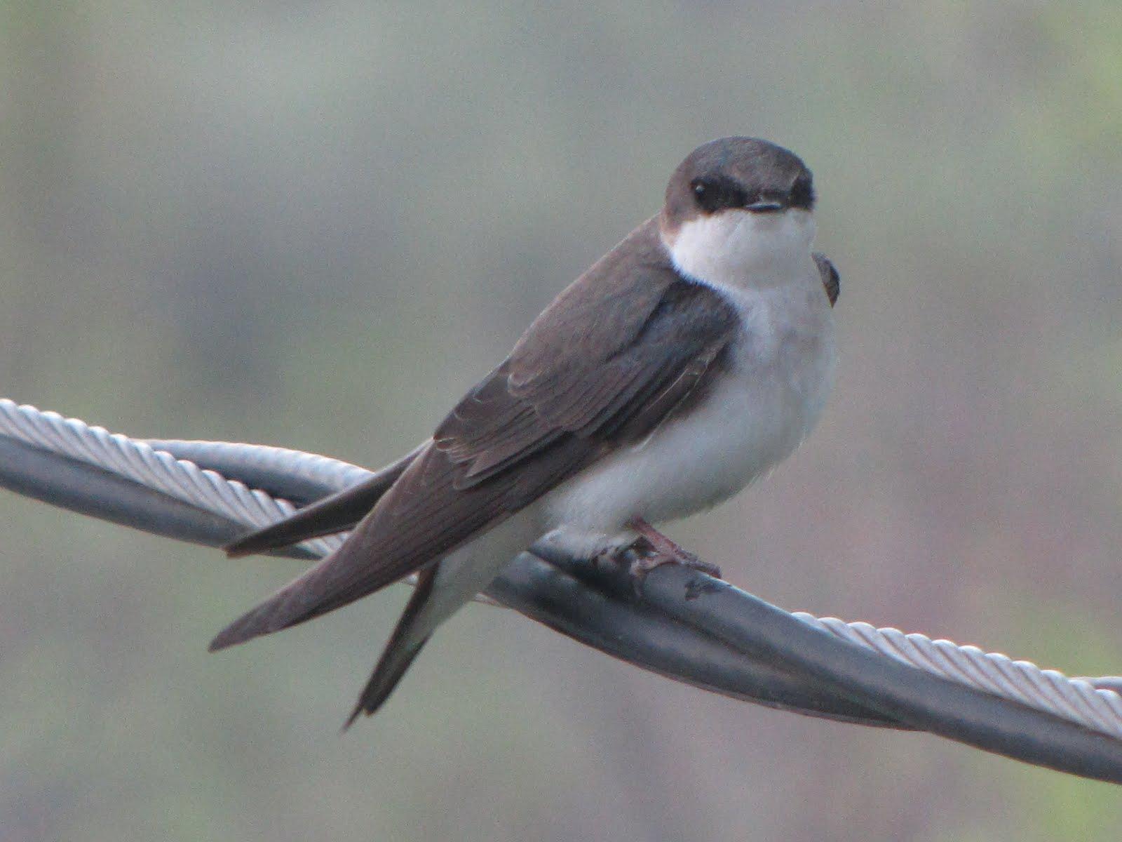 Female Tree Swallow 96