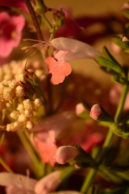 monday vase meme, small sunny garden, amy myers, desert garden, salvia
