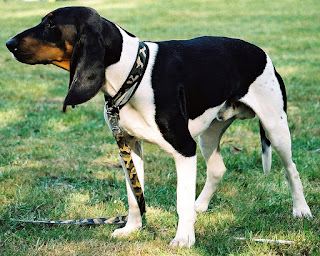 Ariegeois-dogs-dog breeds-pets