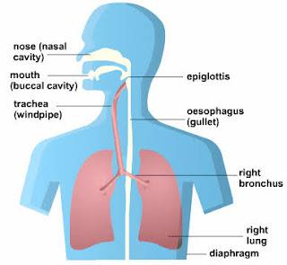 Pengertian Respirasi Seluler, Aerobik, Anaerobik dan Jenis Jenis Jenis Respirasi,fungsi oksigen dalam respirasi seluler dan aerobik.