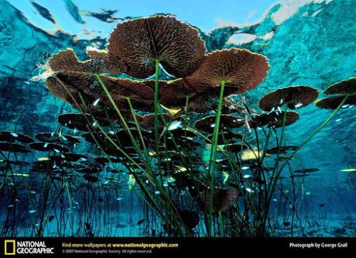 Vitória Régia - National Geographic