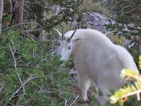 A mountain goat up close