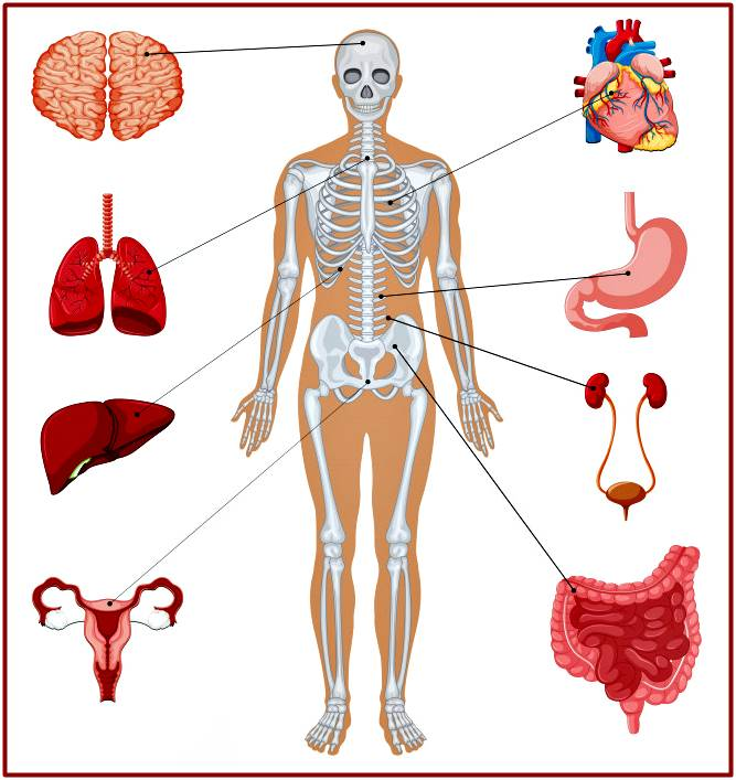 Organismo humano