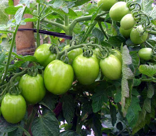 cara menanam tomat hijau