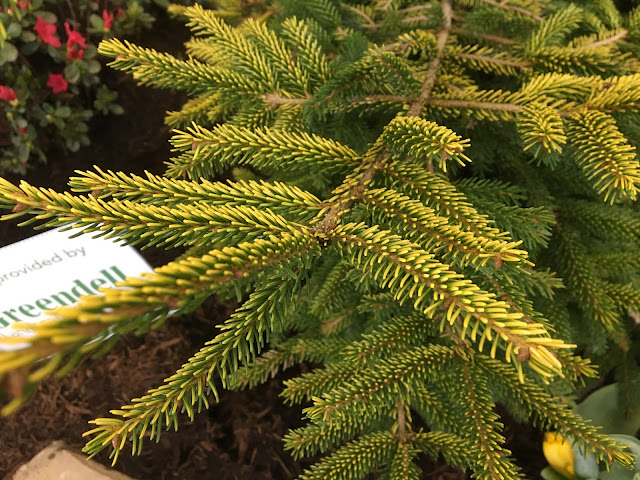 conifer with yellow needle tips