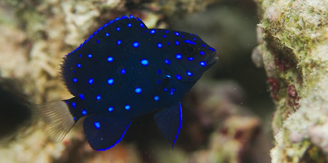Gambar Ikan Jewel Damselfish - Budidaya Ikan