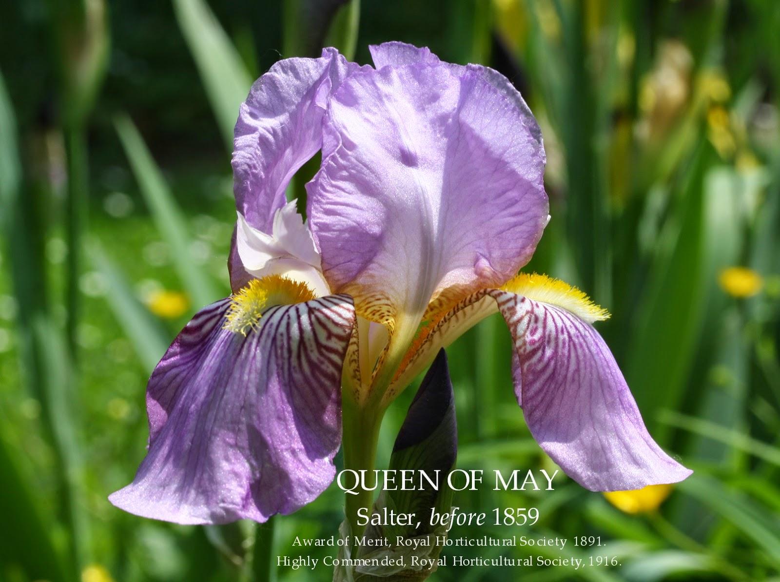 Historic Tall Bearded Iris QUEEN OF MAY HERITAGE IRISES